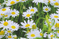 Flowers are ca. 5 cm.