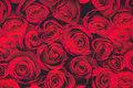 Rose buds are ca. 5 cm.