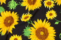 Black cotton-jersey with big sunflowers.